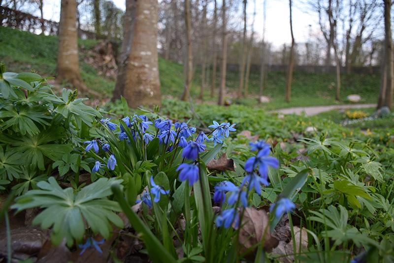 blaa-blomster-skov