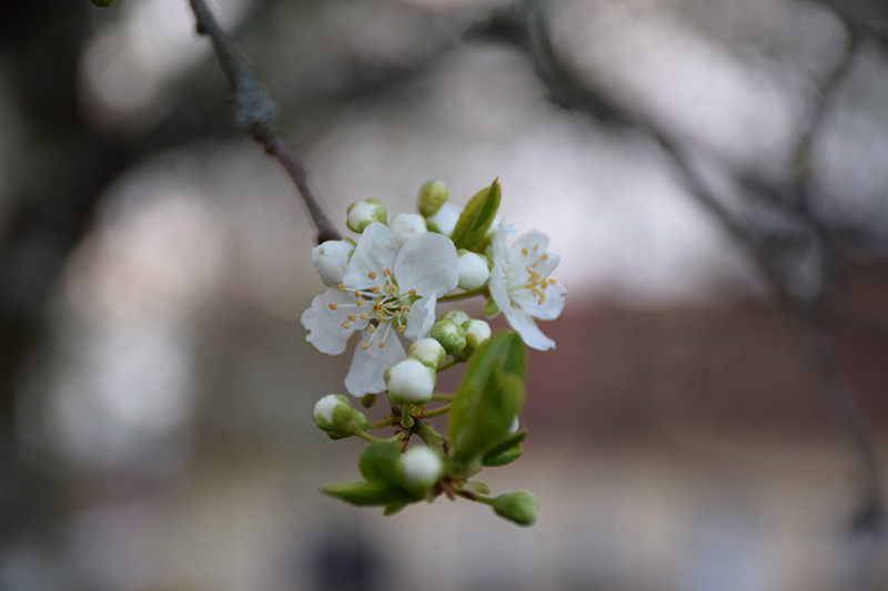 blomst-trae
