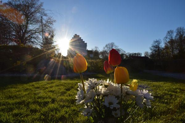 Tulipaner på de ukendtes grav i Hvalsø